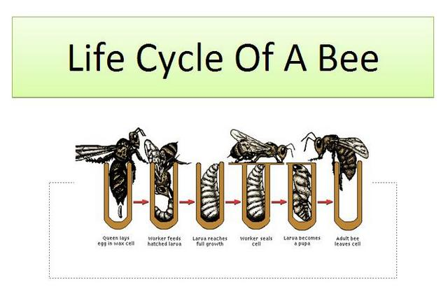 Queen bee life cycle